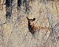 Elk (16553747192).jpg