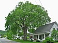 Elm Tree in Vermont June 2017.jpg