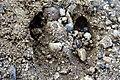 Em - Cervus elaphus elaphus hoofprint - 1.jpg