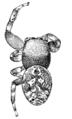 Emerton Zygoballus terrestris.png