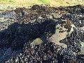 Endocladia muricata in mussel beds, SLO.jpg