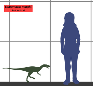 Eodromaeus - Size comparison between Eodromaeus and a human.