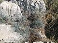 Ephedra in the Palamidi castle (Nafplio) - panoramio.jpg