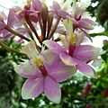 Epidendrum Princess Valley - Flickr - treegrow.jpg