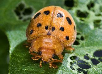 Mexican bean beetle - Image: Epilachna varivestis (cropped)