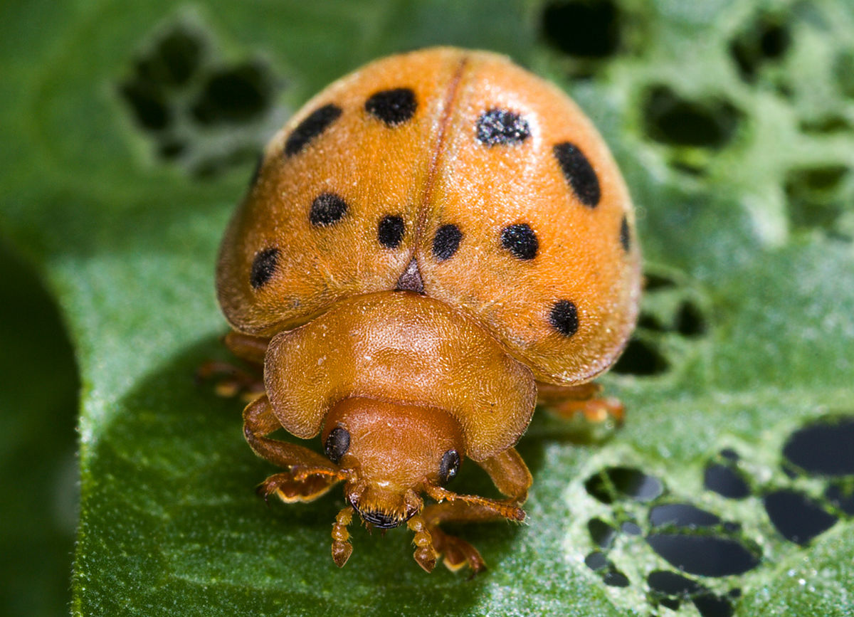 bean beetle adult Mexican