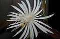 Epiphyllum hookeri (3).jpg