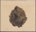 Equus caballus - enteroliet - 1851 - Print - Iconographia Zoologica - Special Collections University of Amsterdam - UBA01 IZAA100294.tif