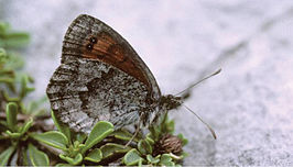 Erebia calcaria - Nature Conservation-001-073-g038.jpg