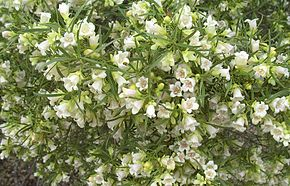 Description de l'image Eremophila_mitchellii.jpg.