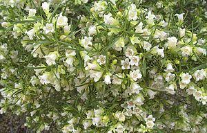 Eremophila mitchellii - E. mitchellii flowers and foliage near Bourke after rain.