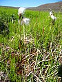 Eriophorum angustifolium upernavik kujalleq 2007-07-25 1.jpg