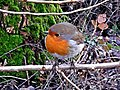 Erithacus rubecula (Muscicapidae) - (adult), Elst (Gld), the Netherlands.jpg