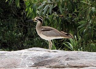 Esacus recurvirostris -Ranganathittu Bird Sanctuary, Karnataka, India-8.jpg