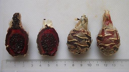 Escontria chiotilla (jiotilla)