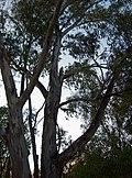 Eucalyptus, St. George , Australia, Queensland - panoramio.jpg