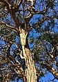 Eucalyptus baxteri - upper branch bark.jpg
