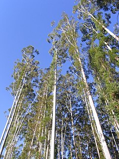 <i>Eucalyptus grandis</i> species of plant