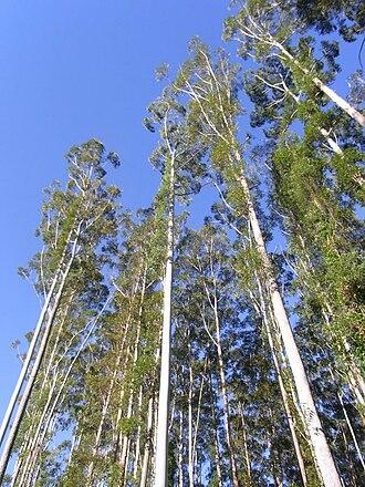 Eucalyptus grandis - Eucalyptus grandis at Kerewong State Forest, Australia