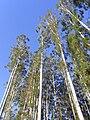 Eucalyptus grandis Kerewong State Forest 55 metres tall.jpg