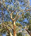 Eucalyptus punctata - upper branch bark.jpg