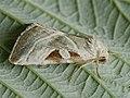 Eucarta virgo - Silvery gem (40347178634).jpg