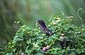 Eudynamys scolopacea, Sri Lanka 01 (js).jpg