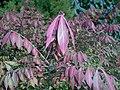 Euonymus alatus 2015-10-03 5839.jpg
