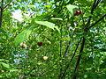 Euonymus sachalinensis BT 04.jpg