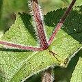 Eupatorium perfoliatum SCA-0424-0427.jpg