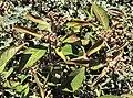 Euphorbia heterophylla.jpg