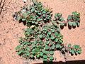 Euphorbia prostrata plant.jpg