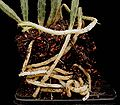 Euphorbia taruensis2 ies.jpg