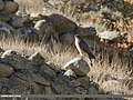 Eurasian Sparrowhawk (Accipiter nisus) (31715805568).jpg