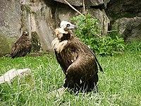 Eurasian black vulture in zoo tierpark friedrichsfelde berlin germany