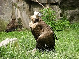 Eurasian black vulture in zoo tierpark friedrichsfelde berlin germany