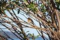 European Robin (Erithacus rubecula) at Relvão Park, Angra do Heroísmo, Azores, Portugal (PPL1-Corrected) julesvernex2.jpg