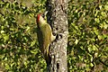 European green woodpecker (Picus viridis) female.jpg