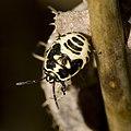 Eurydema.ornatum.6878.jpg