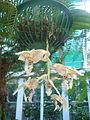 FAI HOR Fla BotanicalGarden orchids.jpg