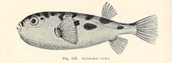 FMIB 45805 Tetraodon richei.jpeg
