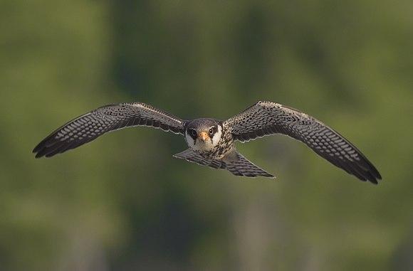 Falco amurensis in flight.jpg