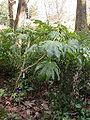 Fatsia japonica 20070226-1516-30.jpg