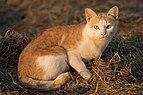 Felis silvestris catus sitting on rice straw.jpg