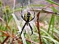 Female Argiope aurantia.jpg