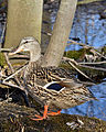 Female Mallard (Anas platyrhynchos) - London, Ontario.jpg