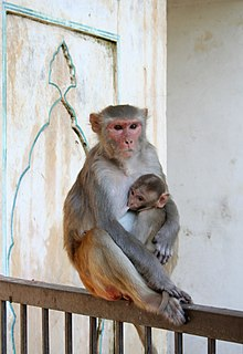 Female and juvenile rhesus macaque at Galtaji, Jaipur, Rajasthan, India.jpg