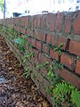 Ferns on brick-wall in the north-west of Germany 03.jpg