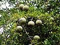 Feronia elephantum PannaTR.jpg