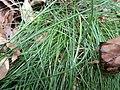 Festuca heterophylla plant (01).jpg